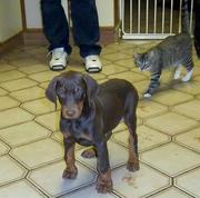 Registered Doberman Pinscher Puppies For Sale