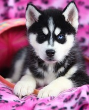 cute and adorable siberian husky puppies for adoption