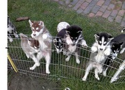 AKC Siberian Husky Pups!