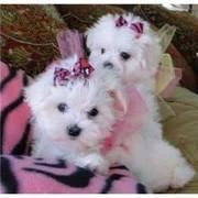 Adorable outstanding Maltese puppies1