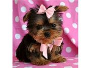 AKC  Teacup Yorkie Puppies For Free Adoption